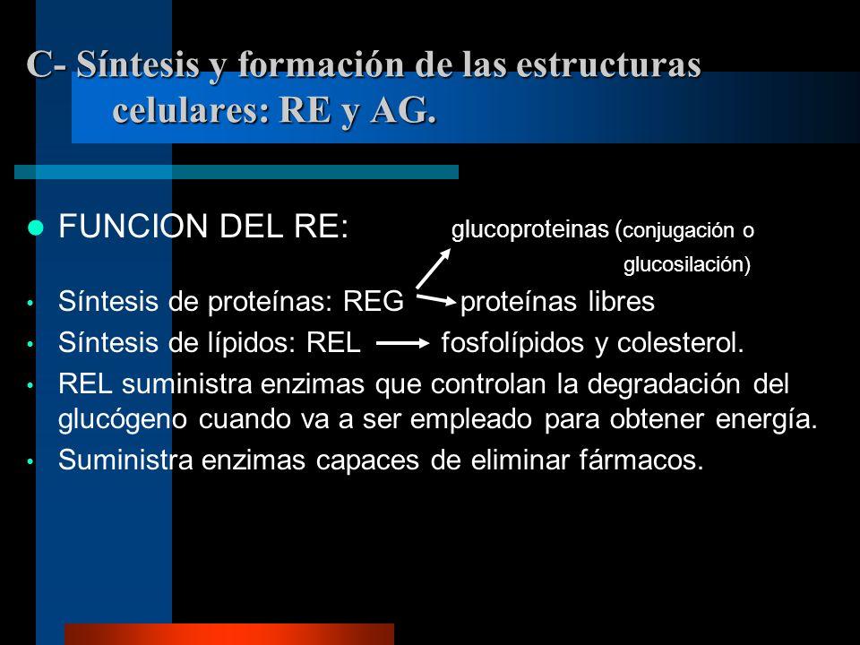 C- Síntesis y formación de las estructuras celulares: RE y AG. FUNCION DEL RE: glucoproteinas ( conjugación o glucosilación) Síntesis de proteínas: RE