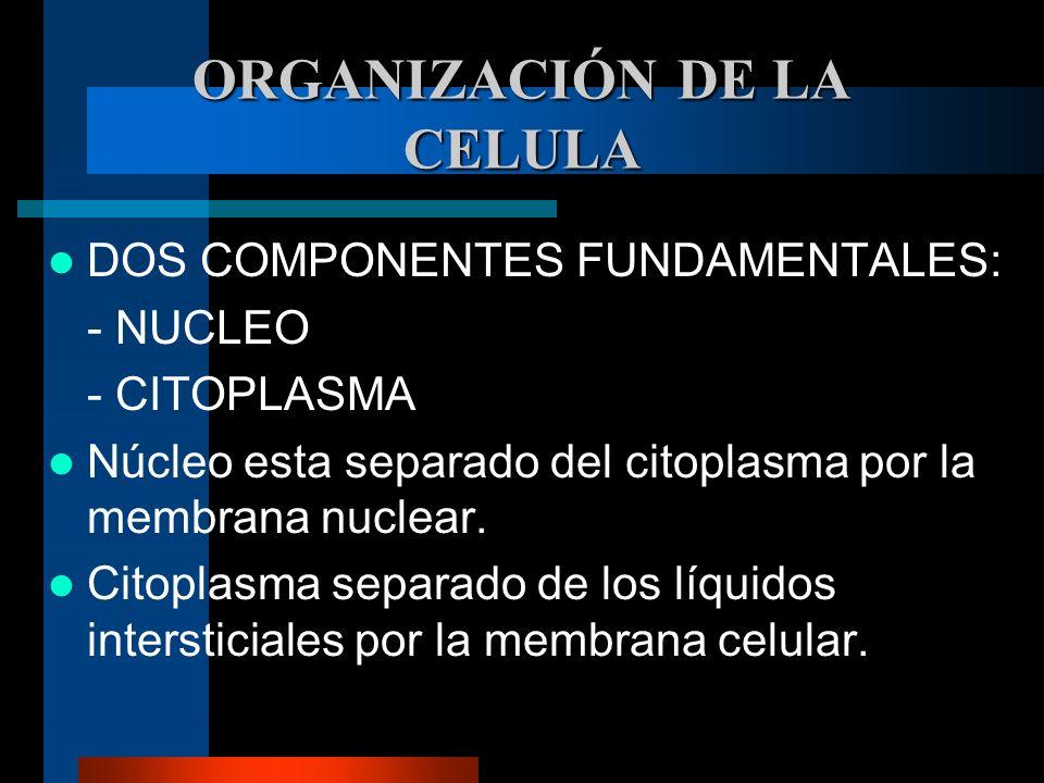 ORGANIZACIÓN DE LA CELULA DOS COMPONENTES FUNDAMENTALES: - NUCLEO - CITOPLASMA Núcleo esta separado del citoplasma por la membrana nuclear. Citoplasma