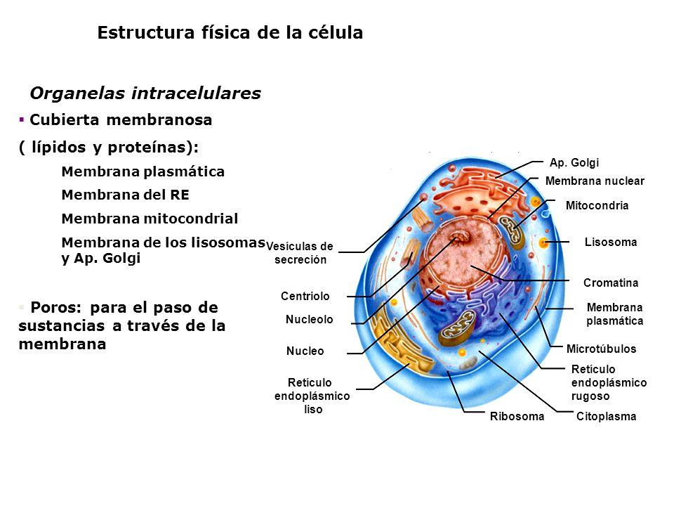 Estructura física de la célula Organelas intracelulares Retículo endoplásmico liso Retículo endoplásmico rugoso Membrana plasmática Citoplasma Microtú