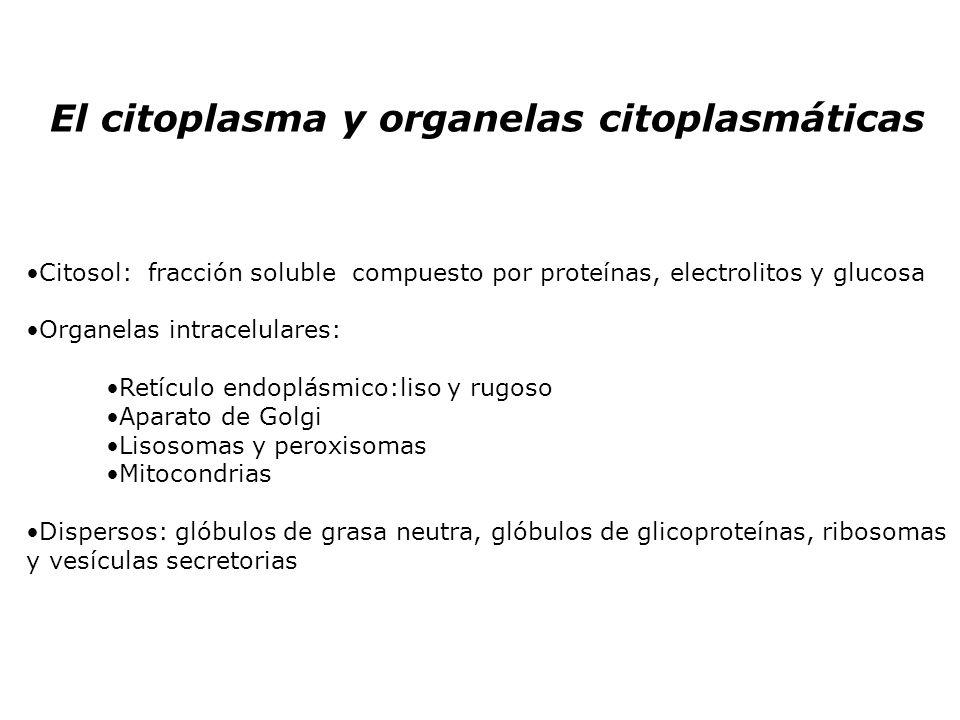 El citoplasma y organelas citoplasmáticas Citosol: fracción soluble compuesto por proteínas, electrolitos y glucosa Organelas intracelulares: Retículo