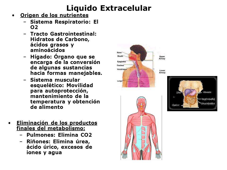 Liquido Extracelular Origen de los nutrientes –Sistema Respiratorio: El O2 –Tracto Gastrointestinal: Hidratos de Carbono, ácidos grasos y aminoácidos
