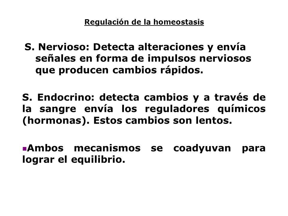 Regulación de la homeostasis S. Nervioso: Detecta alteraciones y envía señales en forma de impulsos nerviosos que producen cambios rápidos. S. Endocri