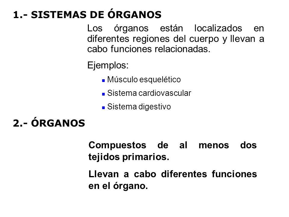 Los órganos están localizados en diferentes regiones del cuerpo y llevan a cabo funciones relacionadas. Ejemplos: Músculo esquelético Sistema cardiova