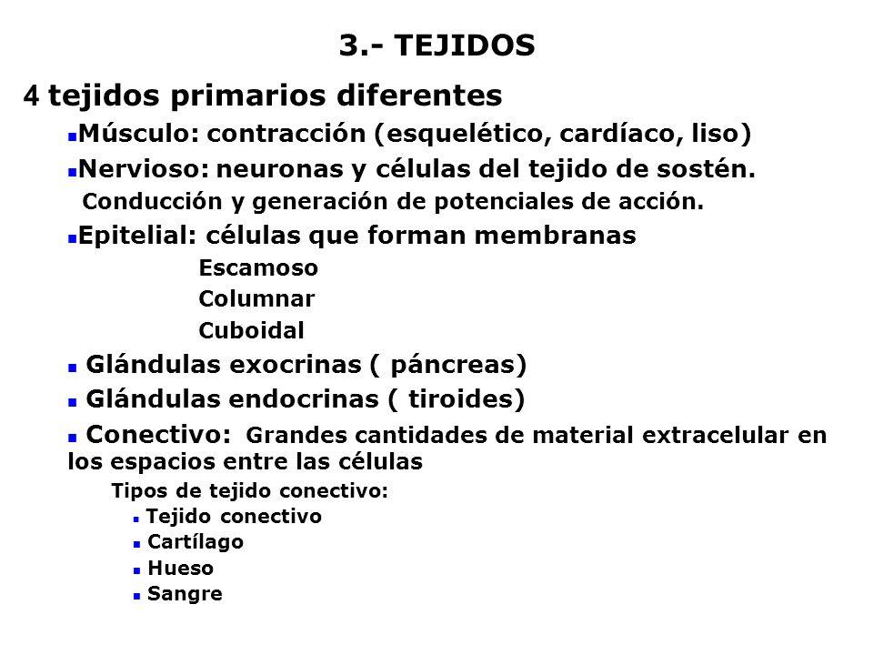 4 tejidos primarios diferentes Músculo: contracción (esquelético, cardíaco, liso) Nervioso: neuronas y células del tejido de sostén. Conducción y gene