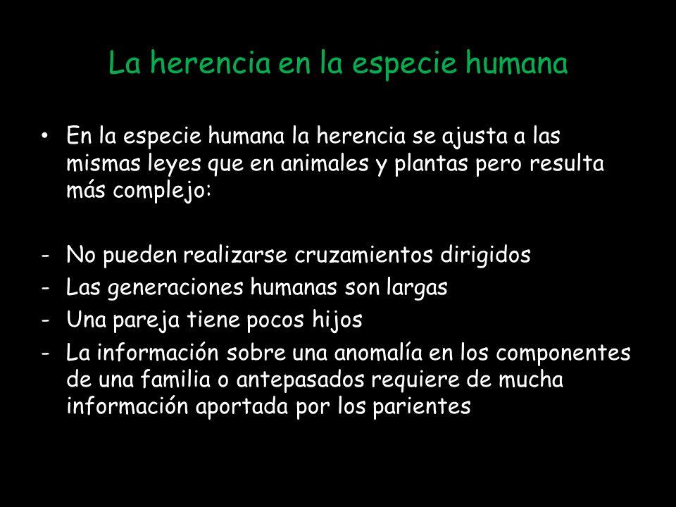 La herencia en la especie humana En la especie humana la herencia se ajusta a las mismas leyes que en animales y plantas pero resulta más complejo: -No pueden realizarse cruzamientos dirigidos -Las generaciones humanas son largas -Una pareja tiene pocos hijos -La información sobre una anomalía en los componentes de una familia o antepasados requiere de mucha información aportada por los parientes