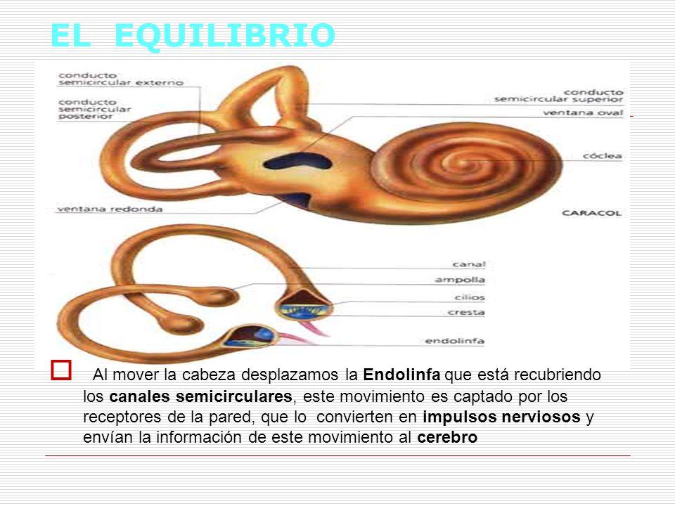 EL EQUILIBRIO Al mover la cabeza desplazamos la Endolinfa que está recubriendo los canales semicirculares, este movimiento es captado por los receptor