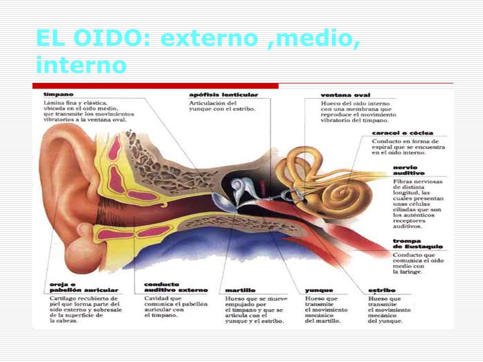 EL OIDO: externo,medio, interno