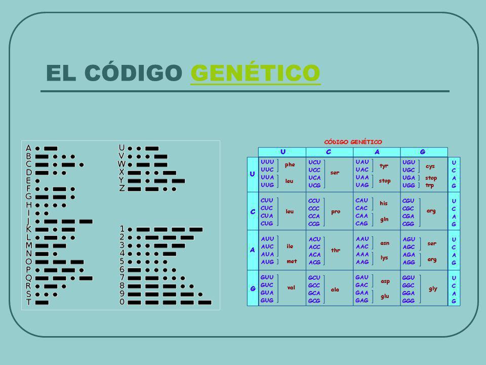 PROYECTO GENOMA HUMANO Diagnóstico de enfermedades hereditarias Fabricación de medicamentos eficaces y personalizados Terapia génica