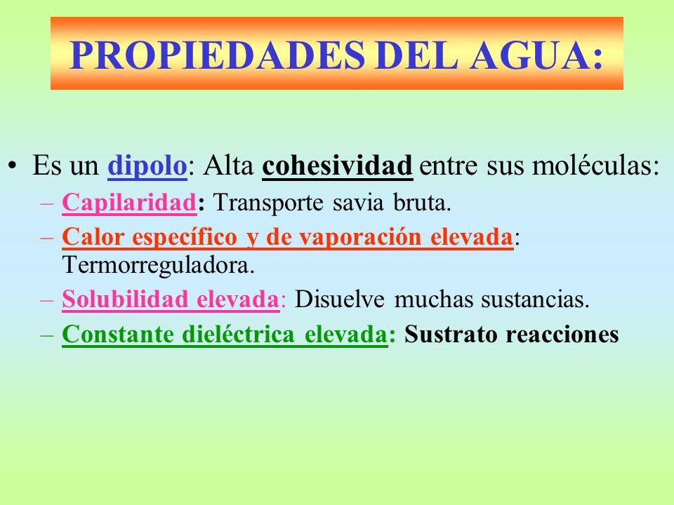 PROPIEDADES DEL AGUA: Es un dipolo: Alta cohesividad entre sus moléculas: –Capilaridad: Transporte savia bruta. –Calor específico y de vaporación elev