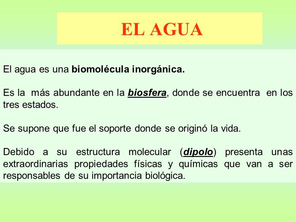 EL AGUA El agua es una biomolécula inorgánica. Es la más abundante en la biosfera, donde se encuentra en los tres estados. Se supone que fue el soport