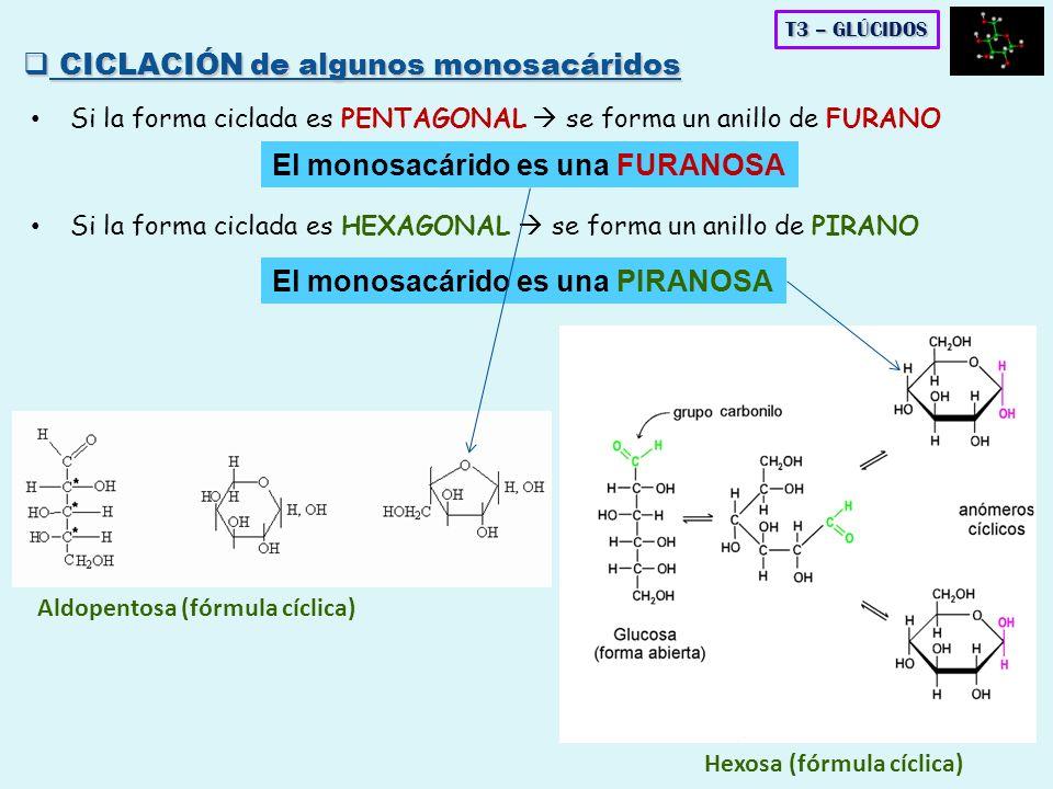 Si la forma ciclada es PENTAGONAL se forma un anillo de FURANO Aldopentosa (fórmula cíclica) Hexosa (fórmula cíclica) T3 – GLÚCIDOS CICLACIÓN de algun