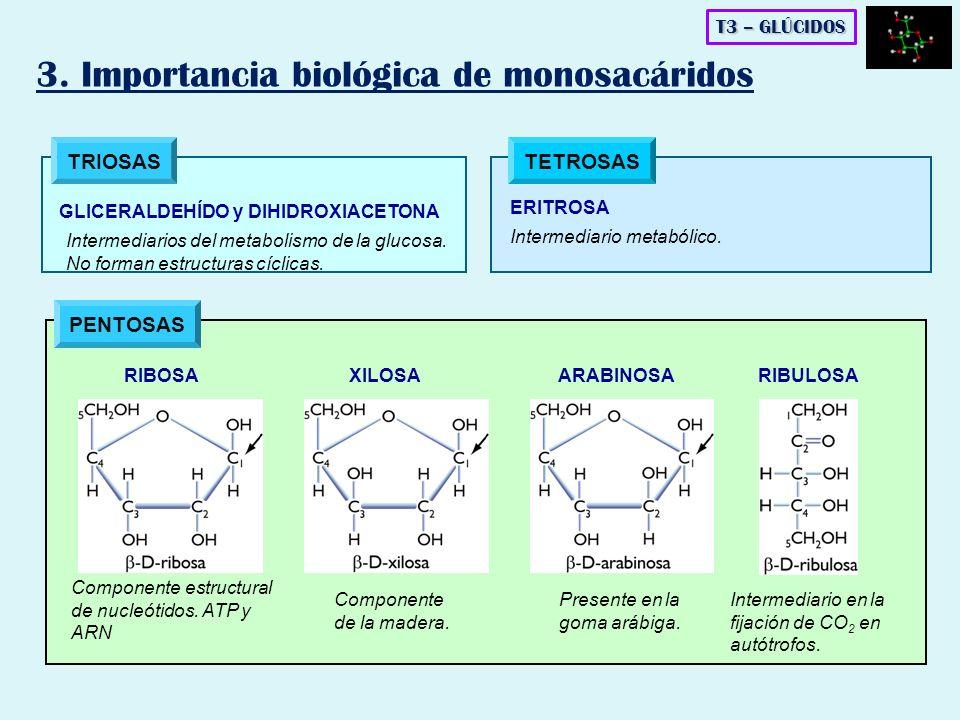 PENTOSAS TRIOSAS GLICERALDEHÍDO y DIHIDROXIACETONA Intermediarios del metabolismo de la glucosa. No forman estructuras cíclicas. TETROSAS ERITROSA Int