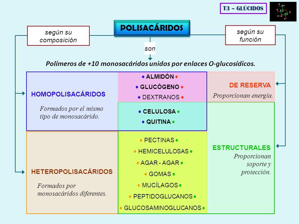 POLISACÁRIDOS Polímeros de +10 monosacáridos unidos por enlaces O-glucosídicos. son HOMOPOLISACÁRIDOS HETEROPOLISACÁRIDOS ESTRUCTURALES DE RESERVA seg