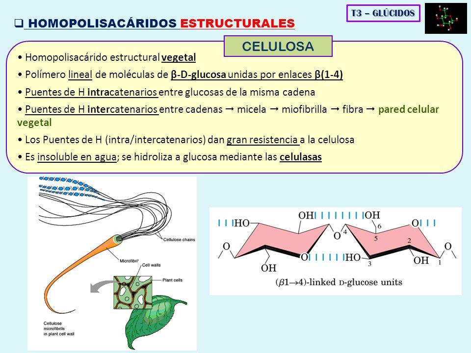 Homopolisacárido estructural vegetal Polímero lineal de moléculas de β-D-glucosa unidas por enlaces β(1-4) Puentes de H intracatenarios entre glucosas