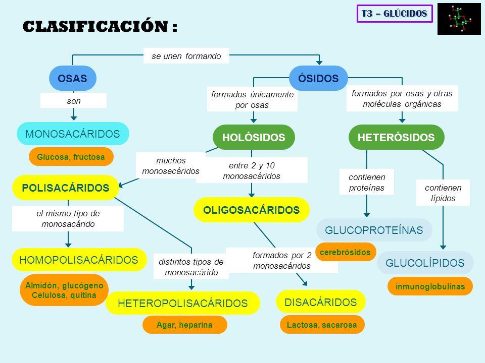 DISACÁRIDOS DE MAYOR INTERÉS BIOLÓGICO MALTOSA -D-glucopiranosil (1 4) -D-glucopiranosa SACAROSA -D-glucopiranosil (1 2) -D-fructofuranosa T3 – GLÚCIDOS Azúcar de consumo habitual Se extrae de la caña de azúcar y remolacha Sin carácter reductor (α-D-glucosa) + (β-D-fructosa) Enlace: dicarbonílico α (1 2) Azúcar de malta Se obtiene por hidrólisis del almidón o glucógeno Con carácter reductor Fácilmente hidrolizable (α-D-glucosa) + (α-D-glucosa) Enlace: monocarbonílico α (1 4)