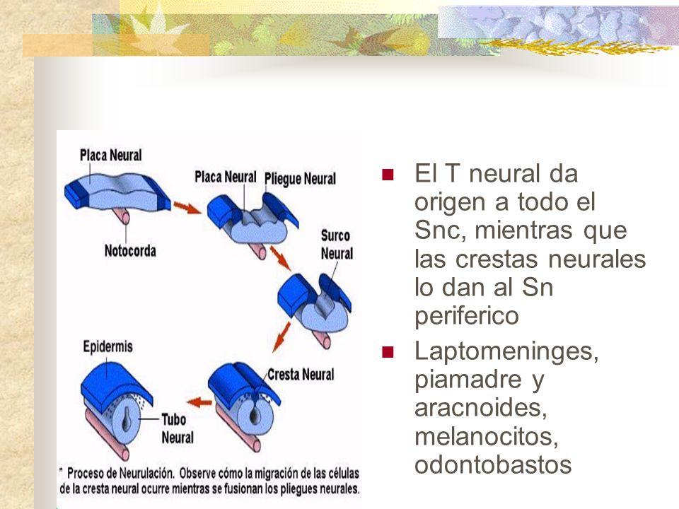 El T neural da origen a todo el Snc, mientras que las crestas neurales lo dan al Sn periferico Laptomeninges, piamadre y aracnoides, melanocitos, odon