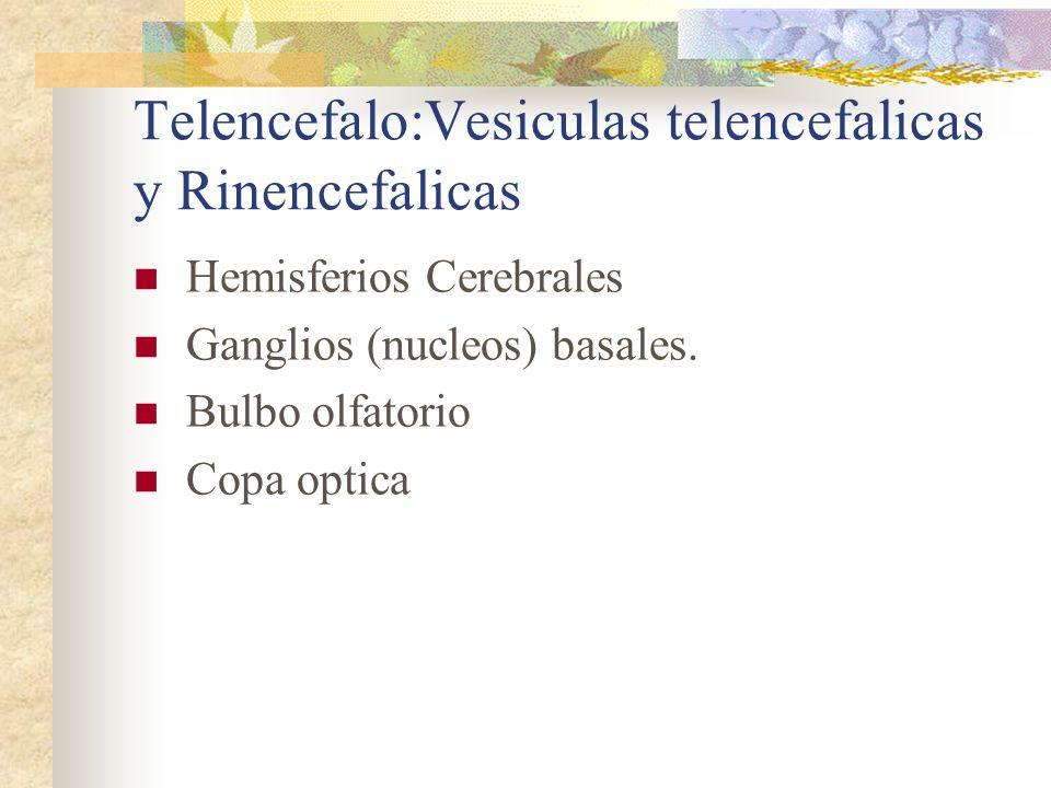 Telencefalo:Vesiculas telencefalicas y Rinencefalicas Hemisferios Cerebrales Ganglios (nucleos) basales. Bulbo olfatorio Copa optica