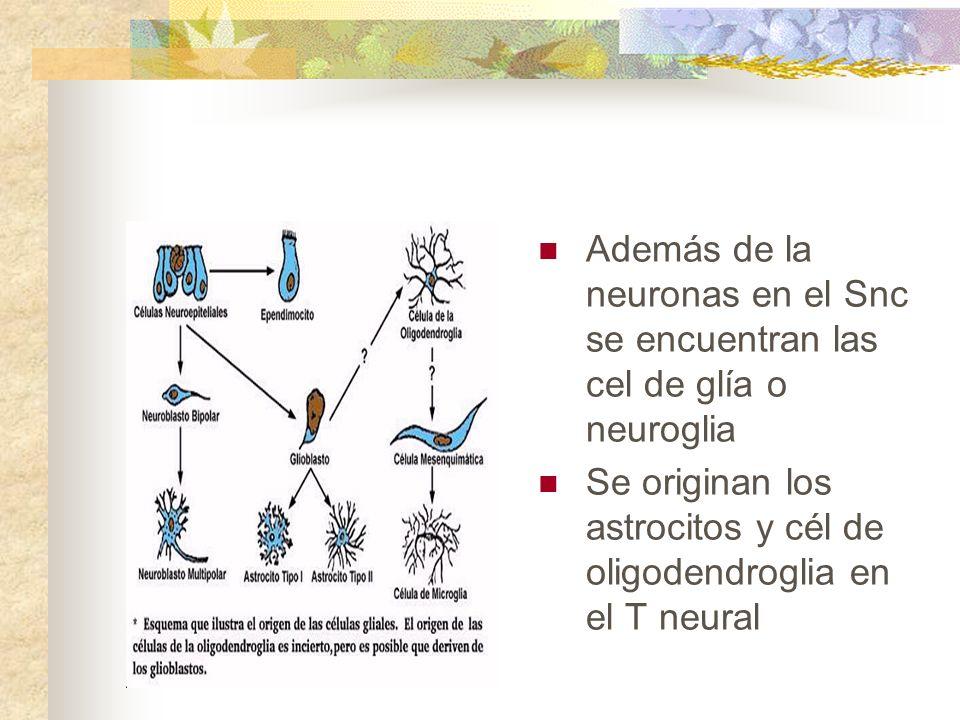 Además de la neuronas en el Snc se encuentran las cel de glía o neuroglia Se originan los astrocitos y cél de oligodendroglia en el T neural