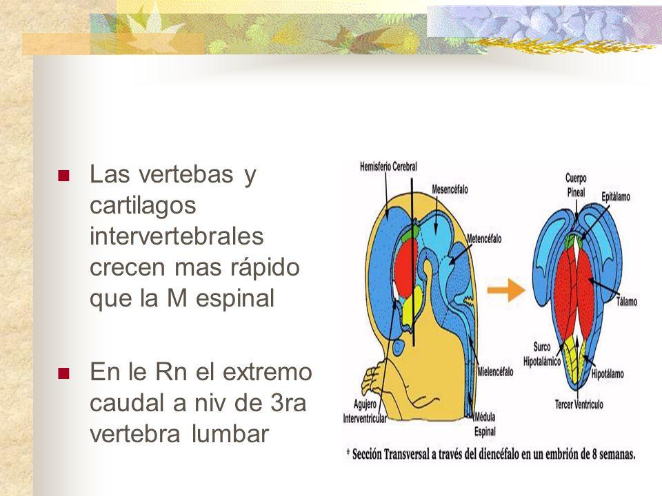 Las vertebas y cartilagos intervertebrales crecen mas rápido que la M espinal En le Rn el extremo caudal a niv de 3ra vertebra lumbar