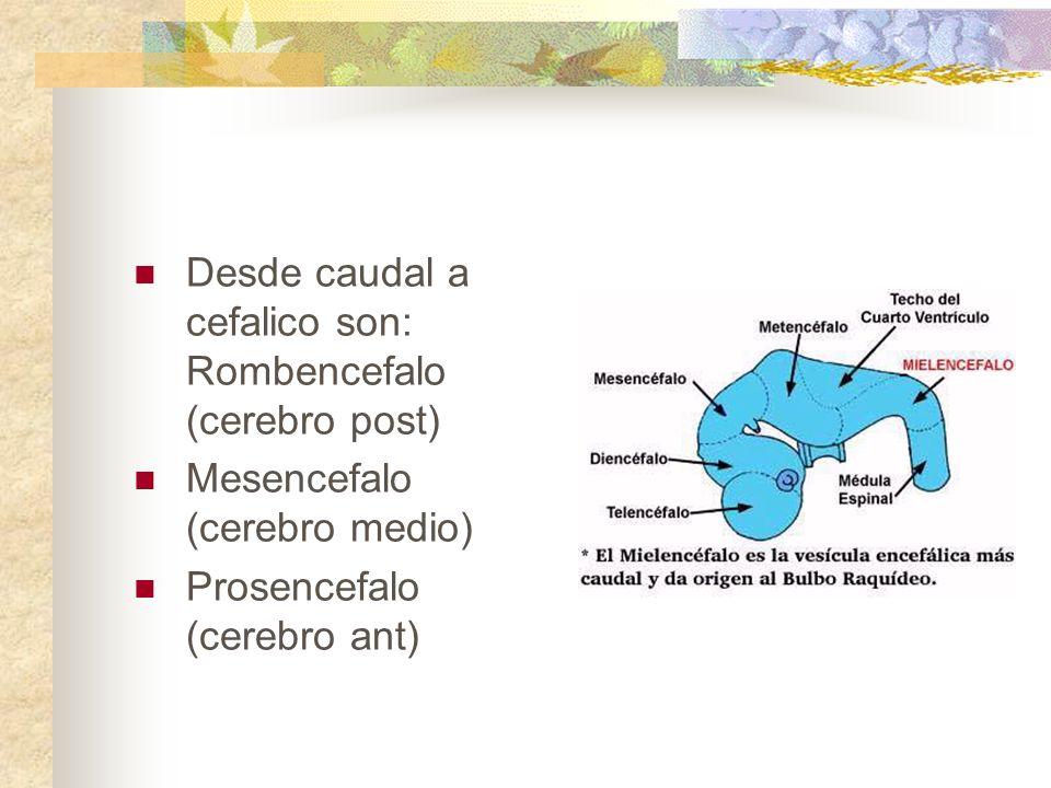 Desde caudal a cefalico son: Rombencefalo (cerebro post) Mesencefalo (cerebro medio) Prosencefalo (cerebro ant)