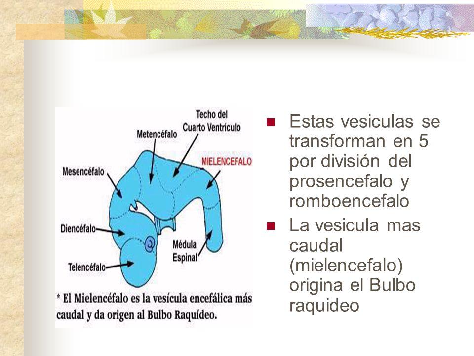 Estas vesiculas se transforman en 5 por división del prosencefalo y romboencefalo La vesicula mas caudal (mielencefalo) origina el Bulbo raquideo