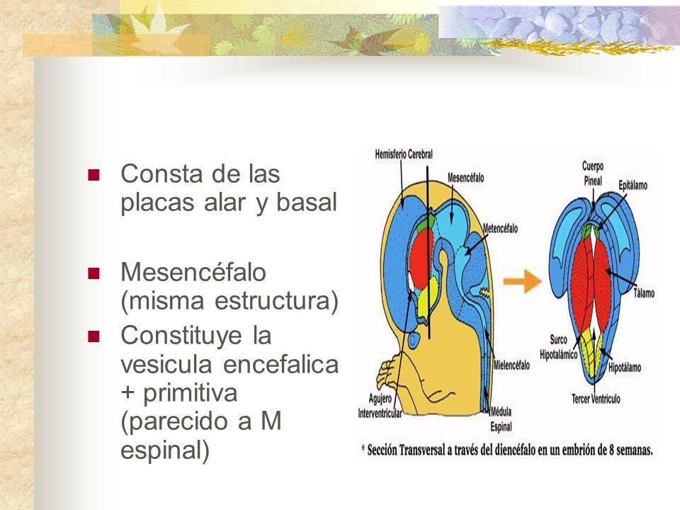 Consta de las placas alar y basal Mesencéfalo (misma estructura) Constituye la vesicula encefalica + primitiva (parecido a M espinal)