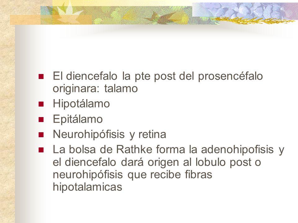 El diencefalo la pte post del prosencéfalo originara: talamo Hipotálamo Epitálamo Neurohipófisis y retina La bolsa de Rathke forma la adenohipofisis y
