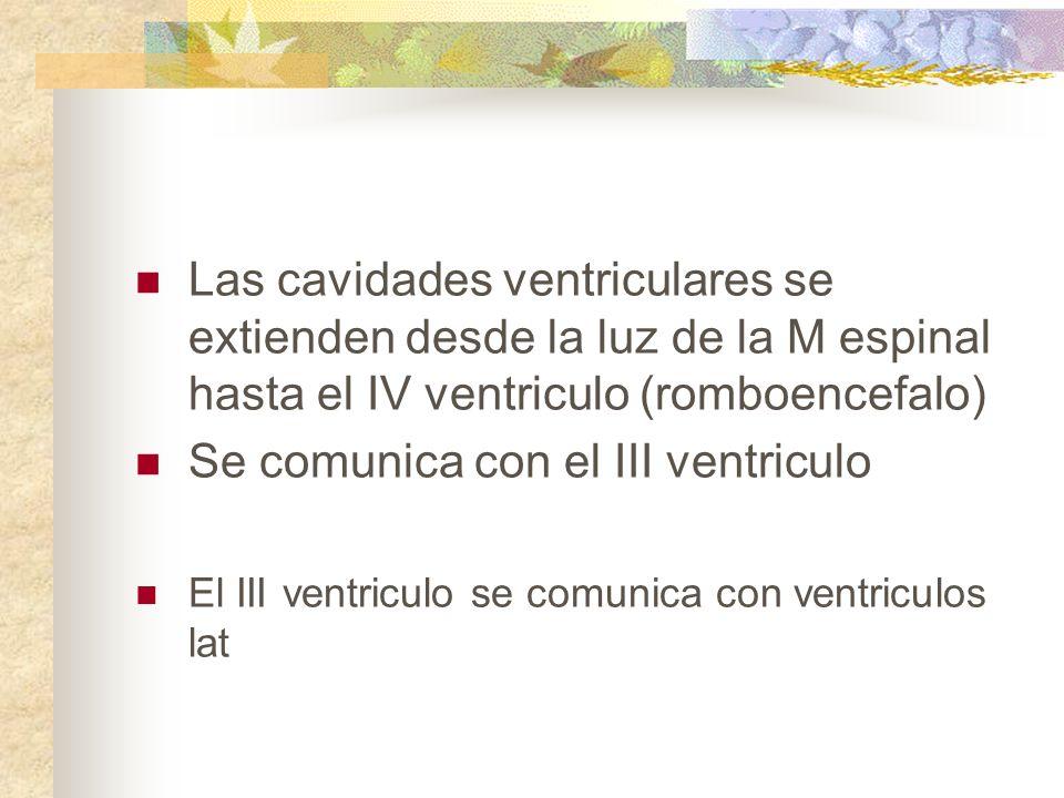 Las cavidades ventriculares se extienden desde la luz de la M espinal hasta el IV ventriculo (romboencefalo) Se comunica con el III ventriculo El III