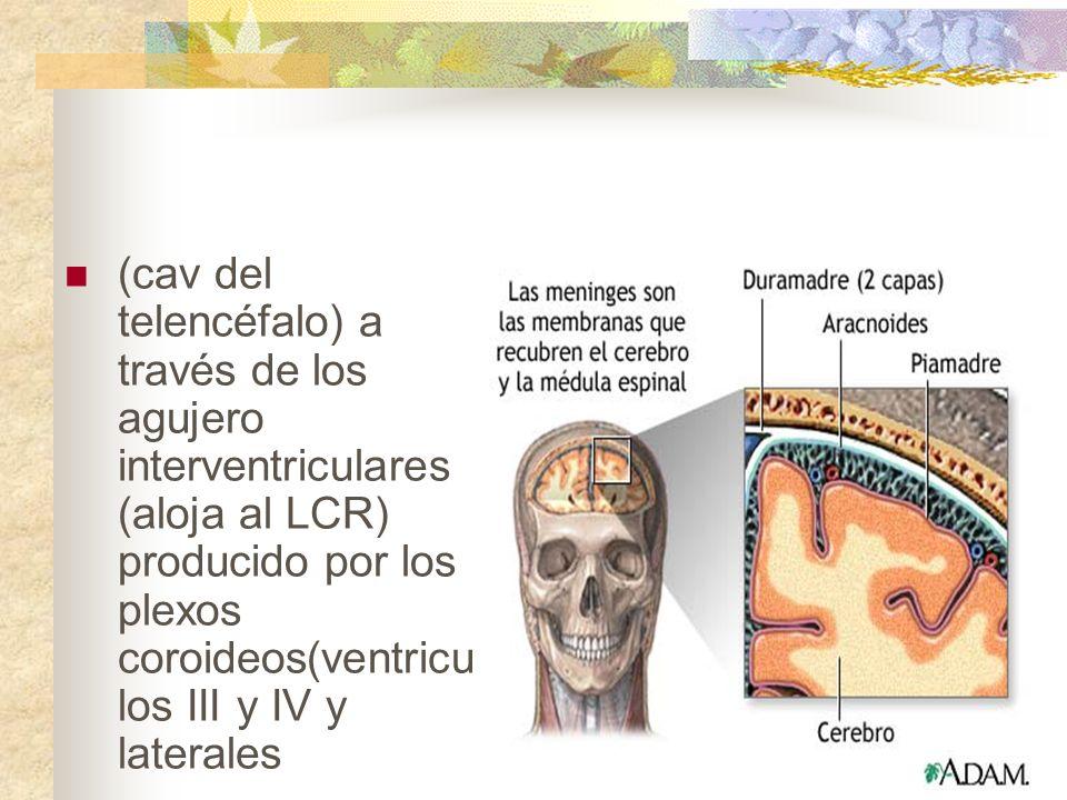 (cav del telencéfalo) a través de los agujero interventriculares (aloja al LCR) producido por los plexos coroideos(ventricu los III y IV y laterales