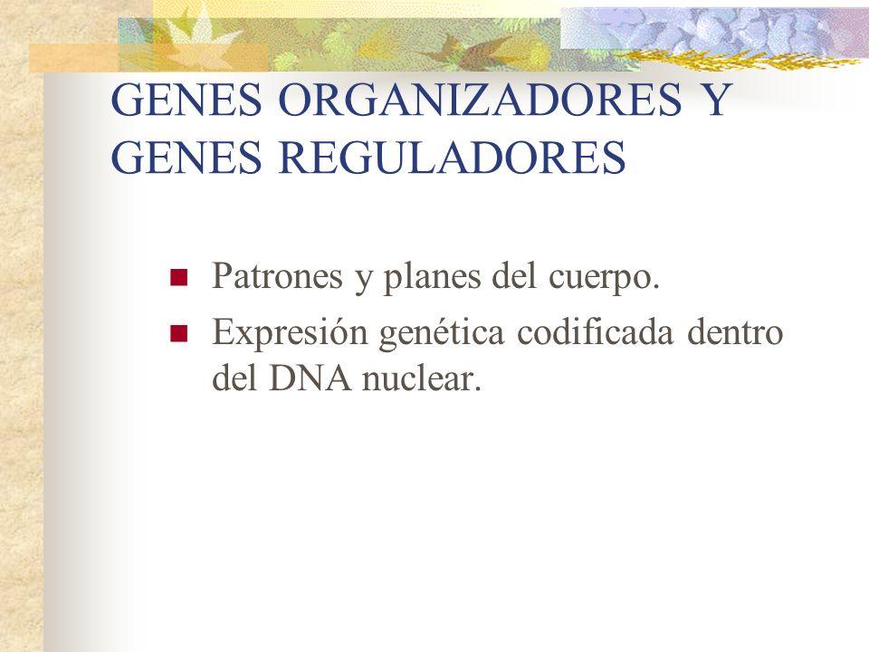 GENES ORGANIZADORES Y GENES REGULADORES Patrones y planes del cuerpo. Expresión genética codificada dentro del DNA nuclear.