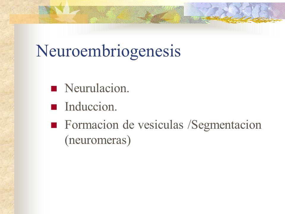 Neuroembriogenesis Neurulacion. Induccion. Formacion de vesiculas /Segmentacion (neuromeras)