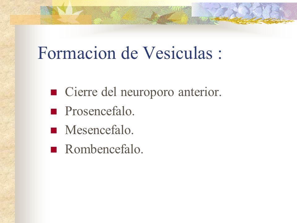Formacion de Vesiculas : Cierre del neuroporo anterior. Prosencefalo. Mesencefalo. Rombencefalo.