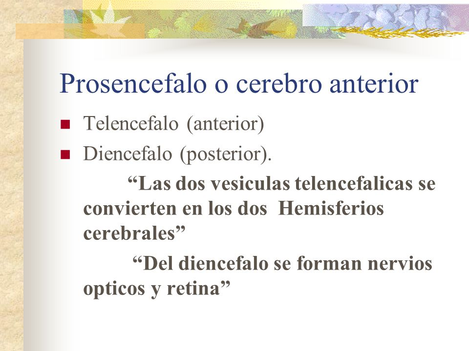Prosencefalo o cerebro anterior Telencefalo (anterior) Diencefalo (posterior). Las dos vesiculas telencefalicas se convierten en los dos Hemisferios c