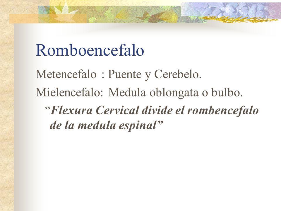 Romboencefalo Metencefalo : Puente y Cerebelo. Mielencefalo: Medula oblongata o bulbo. Flexura Cervical divide el rombencefalo de la medula espinal
