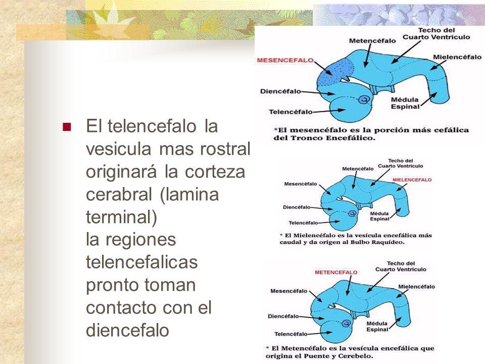 El telencefalo la vesicula mas rostral originará la corteza cerabral (lamina terminal) la regiones telencefalicas pronto toman contacto con el diencef