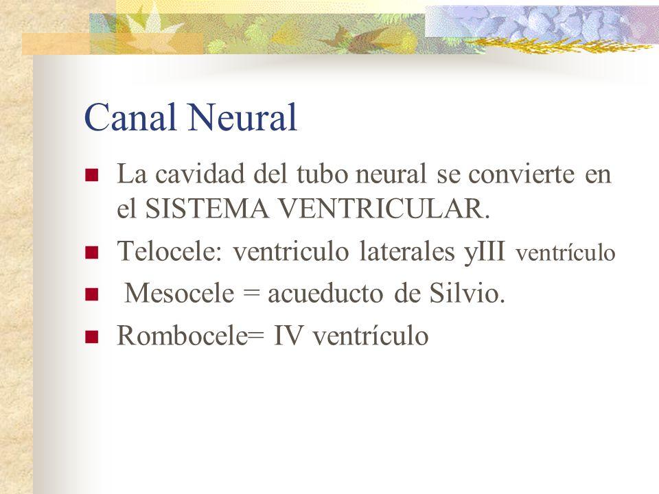Canal Neural La cavidad del tubo neural se convierte en el SISTEMA VENTRICULAR. Telocele: ventriculo laterales yIII ventrículo Mesocele = acueducto de