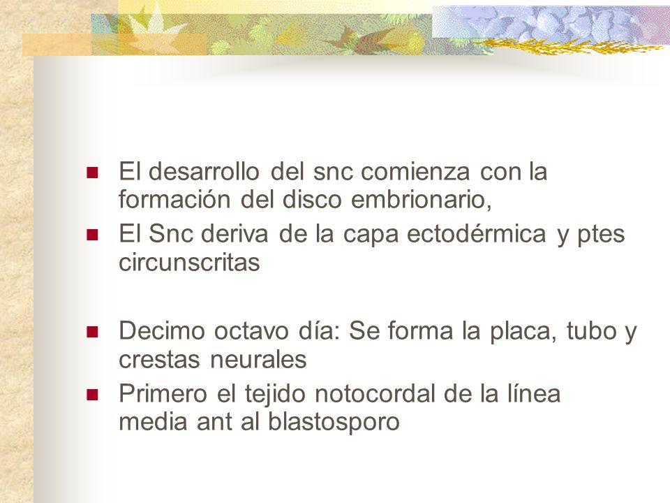 Prosencefalo o cerebro anterior Telencefalo (anterior) Diencefalo (posterior).