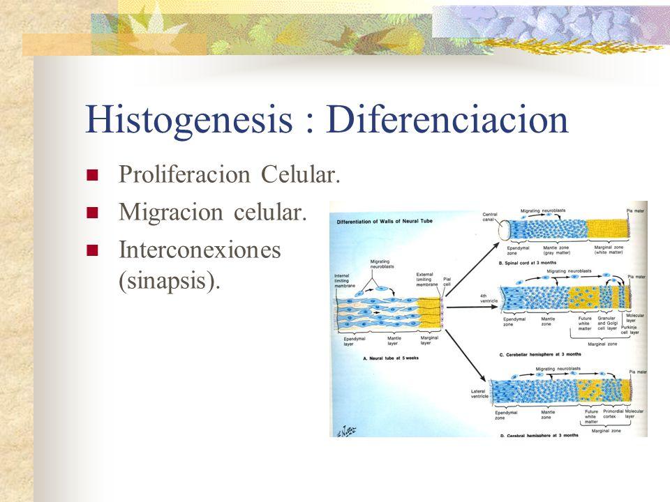 Histogenesis : Diferenciacion Proliferacion Celular. Migracion celular. Interconexiones (sinapsis).