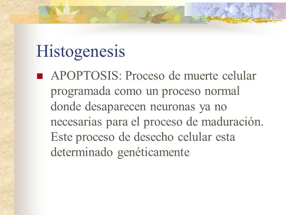 Histogenesis APOPTOSIS: Proceso de muerte celular programada como un proceso normal donde desaparecen neuronas ya no necesarias para el proceso de mad