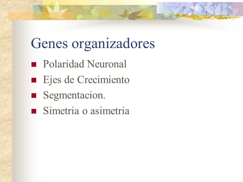 Genes organizadores Polaridad Neuronal Ejes de Crecimiento Segmentacion. Simetria o asimetria