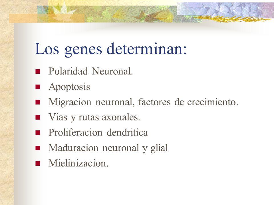 Los genes determinan: Polaridad Neuronal. Apoptosis Migracion neuronal, factores de crecimiento. Vias y rutas axonales. Proliferacion dendritica Madur