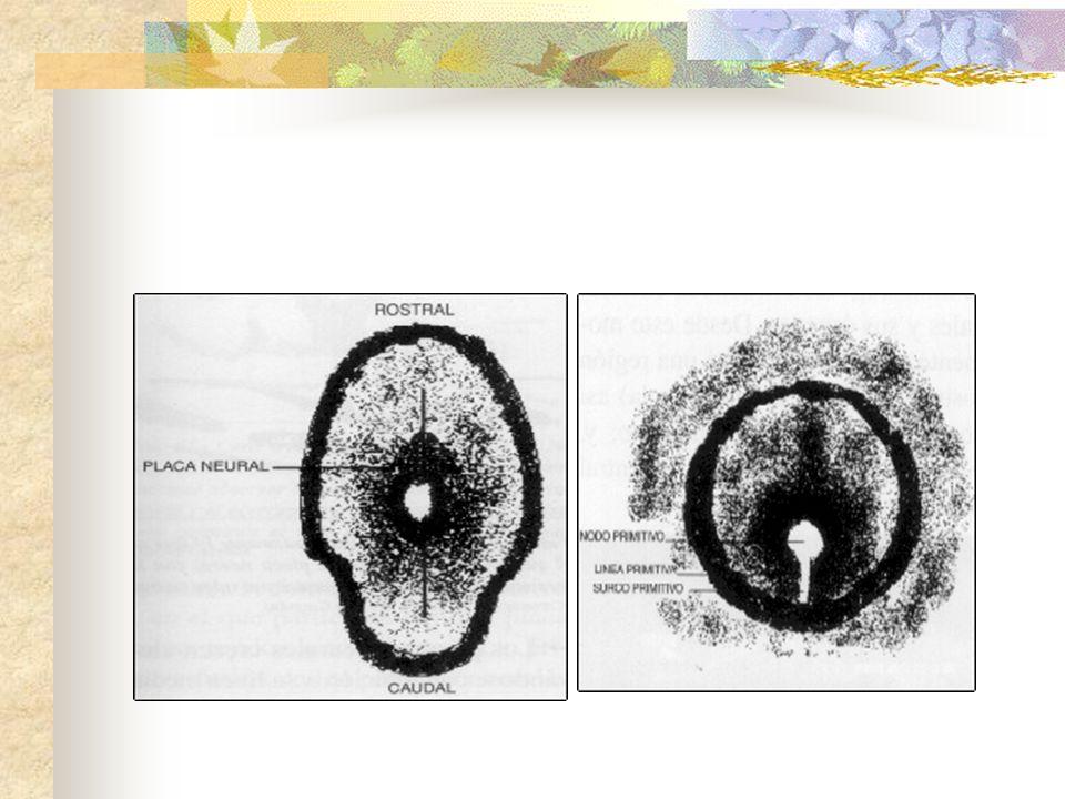 El neuroporo cefalico es el primero en cerrarse a los 28 días de gestación dos días más tarde se cierra el neuroporo caudal