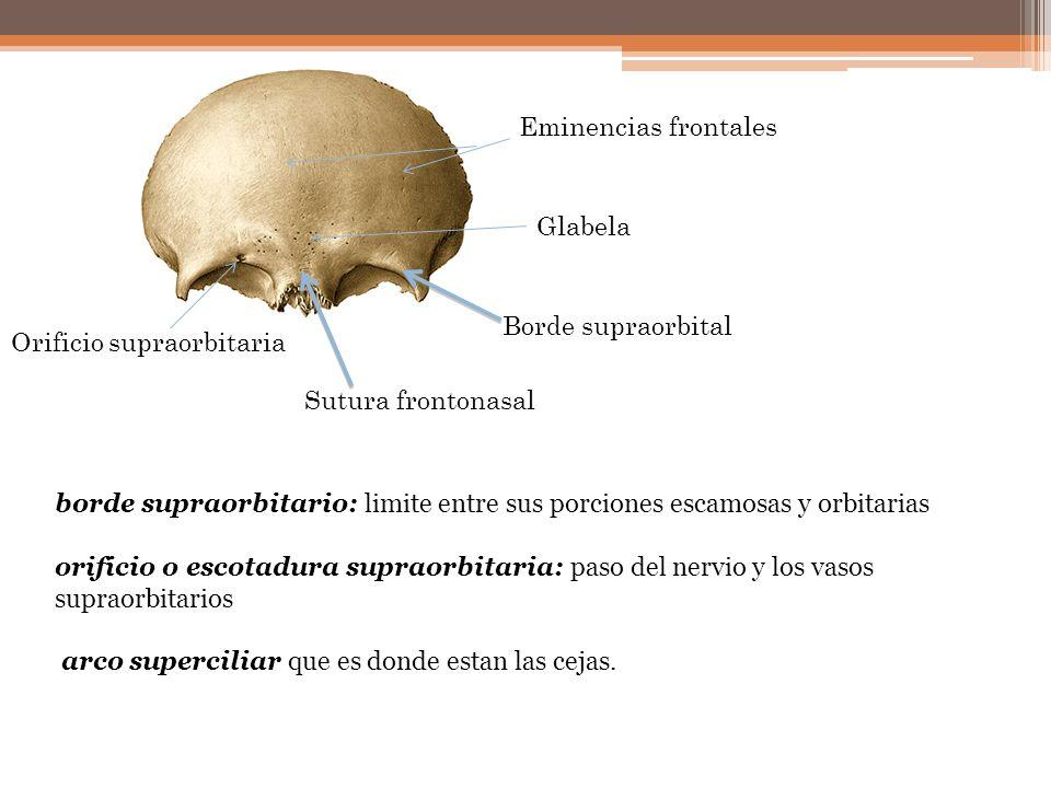 Borde supraorbital Orificio supraorbitaria Sutura frontonasal Glabela Eminencias frontales borde supraorbitario: limite entre sus porciones escamosas