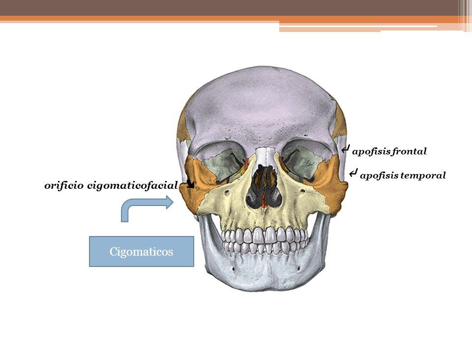 Cigomaticos apofisis temporal orificio cigomaticofacial apofisis frontal