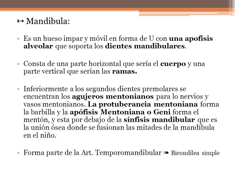 Mandibula: Es un hueso impar y móvil en forma de U con una apofisis alveolar que soporta los dientes mandibulares. Consta de una parte horizontal que