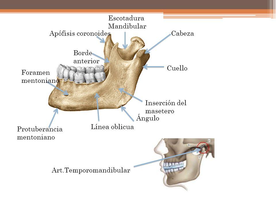 Cabeza Cuello Escotadura Mandibular Apófisis coronoides Borde anterior Foramen mentoniano Inserción del masetero Ángulo Línea oblicua Protuberancia me