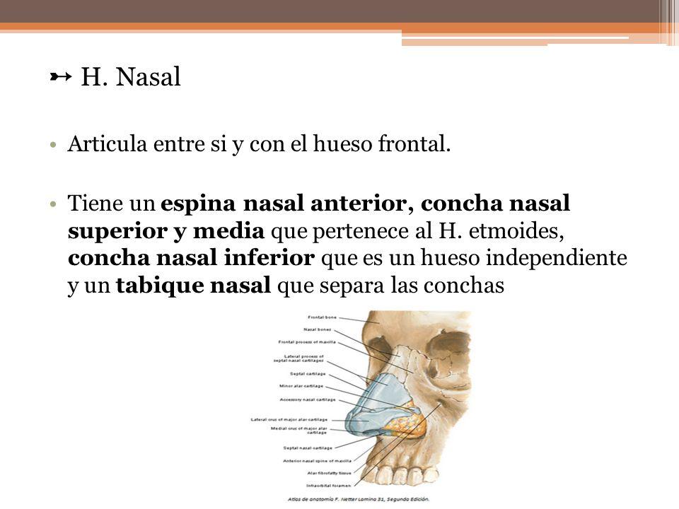 H. Nasal Articula entre si y con el hueso frontal. Tiene un espina nasal anterior, concha nasal superior y media que pertenece al H. etmoides, concha
