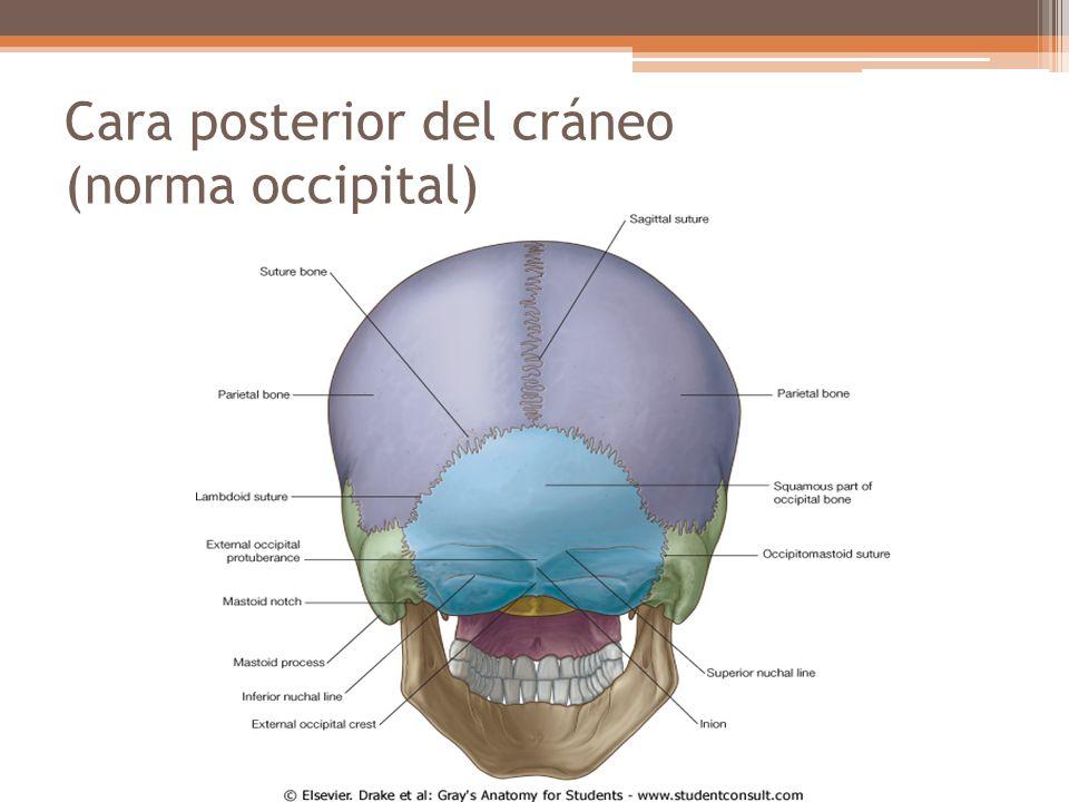 Cara posterior del cráneo (norma occipital)