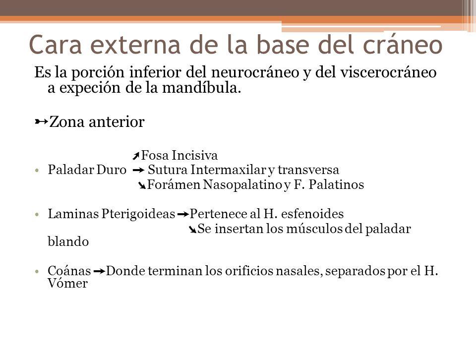 Cara externa de la base del cráneo Es la porción inferior del neurocráneo y del viscerocráneo a expeción de la mandíbula. Zona anterior Fosa Incisiva