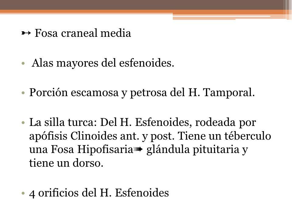 Fosa craneal media Alas mayores del esfenoides. Porción escamosa y petrosa del H. Tamporal. La silla turca: Del H. Esfenoides, rodeada por apófisis Cl